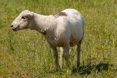 Rebanho dos carneiros suíços brancos que estão ao ar livre Foto de Stock Royalty Free