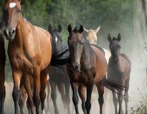 Rebanho dos cavalos Fotografia de Stock