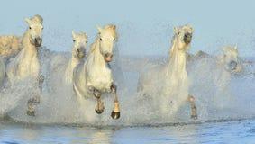 Rebanho dos cavalos brancos de Camargue que correm na água Foto de Stock Royalty Free