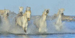 Rebanho dos cavalos brancos de Camargue que correm na água Imagem de Stock