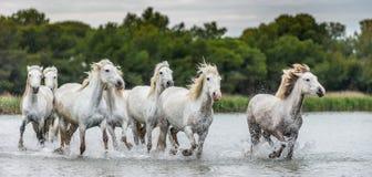 Rebanho dos cavalos brancos de Camargue que galopam na água Imagem de Stock
