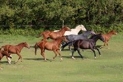 Rebanho dos cavalos coloridos que galopam no prado fotografia de stock