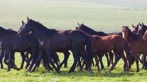 Rebanho dos cavalos em um pasto do verão Imagens de Stock