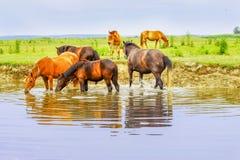 Rebanho dos cavalos em um prado na água Fotos de Stock Royalty Free