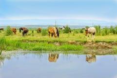 Rebanho dos cavalos em um prado perto da água Imagem de Stock Royalty Free