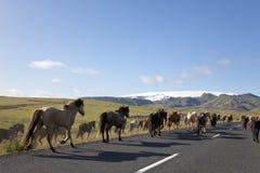 Rebanho dos cavalos islandêses que funcionam abaixo de uma estrada Imagens de Stock Royalty Free