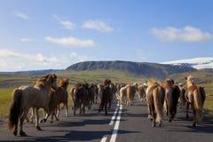 Rebanho dos cavalos islandêses que funcionam abaixo de uma estrada Fotografia de Stock Royalty Free