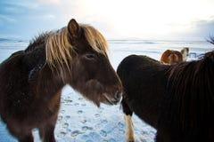 Rebanho dos cavalos islandêses que pastam no prado Fotografia de Stock Royalty Free