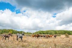 Rebanho dos cavalos no campo Imagens de Stock
