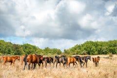 Rebanho dos cavalos no campo Fotografia de Stock Royalty Free