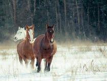 Rebanho dos cavalos no inverno imagem de stock royalty free