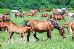 Rebanho dos cavalos que comem a grama no campo Fotografia de Stock Royalty Free