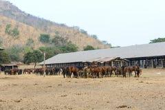 Rebanho dos cavalos que comem o feno seco Fotos de Stock Royalty Free