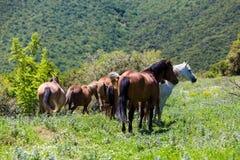 Rebanho dos cavalos que comem verdes em uma inclinação de montanha Foto de Stock Royalty Free