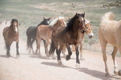 Rebanho dos cavalos que correm ao longo da estrada empoeirada Foto de Stock Royalty Free
