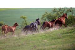 Rebanho dos cavalos que correm avante na poeira no por do sol Imagens de Stock Royalty Free