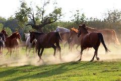 Rebanho dos cavalos que correm avante na poeira no por do sol Fotos de Stock Royalty Free