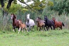 Rebanho dos cavalos que correm com o verão do prado Imagens de Stock Royalty Free