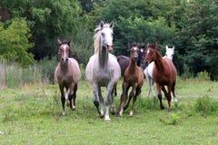 Rebanho dos cavalos que correm com o verão do prado Imagem de Stock