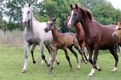 Rebanho dos cavalos que correm com o verão do prado Foto de Stock