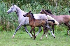 Rebanho dos cavalos que correm com o verão do prado Fotos de Stock