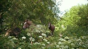 Rebanho dos cavalos que correm em um galope no caminho no campo do verão video estoque