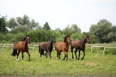 Rebanho dos cavalos que correm livre no pasto Imagens de Stock