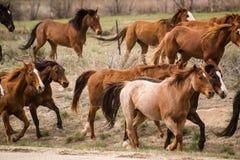 Rebanho dos cavalos que correm perto em uma movimentação da fuga Fotografia de Stock Royalty Free