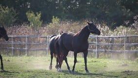 Rebanho dos cavalos que galopam levemente vídeos de arquivo