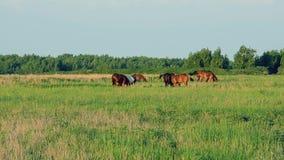 Rebanho dos cavalos que pastam em um prado verde no por do sol filme