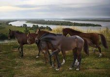 rebanho dos cavalos que pastam livremente no aberto na curvatura do rio de Kama do russo Foto de Stock