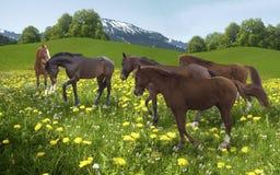 Rebanho dos cavalos que pastam no fundo das montanhas Fotos de Stock Royalty Free