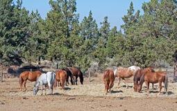 Rebanho dos cavalos que pastam o lote seco fotografia de stock royalty free