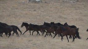 Rebanho dos cavalos selvagens que galopam através da pradaria do inverno filme
