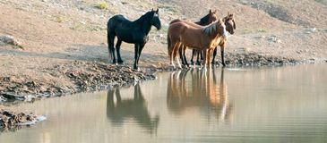 Rebanho dos cavalos selvagens que refletem na água no waterhole na escala do cavalo selvagem das montanhas de Pryor em Montana EU Imagens de Stock Royalty Free