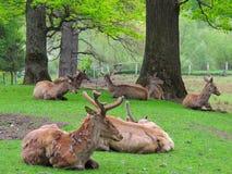 Rebanho dos cervos Imagens de Stock Royalty Free
