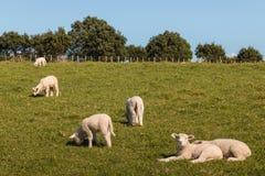 Rebanho dos cordeiros que pastam no prado Fotos de Stock Royalty Free