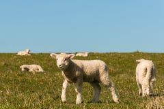 Rebanho dos cordeiros que pastam no prado Imagem de Stock