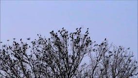 rebanho dos corvos na árvore filme