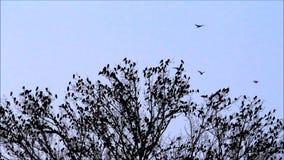 Rebanho dos corvos na árvore com som video estoque