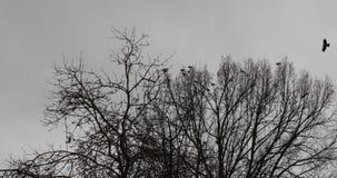 Rebanho dos corvos perto da árvore seca na estação do outono video estoque