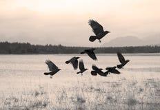 Rebanho dos corvos que movem-se sobre fotografia de stock royalty free