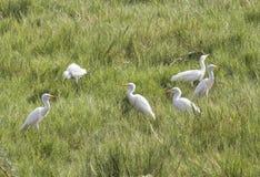 Rebanho dos Egrets Fotografia de Stock