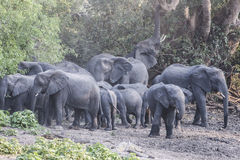 Rebanho dos elefantes Fotografia de Stock Royalty Free