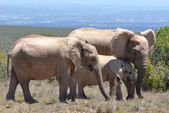 Rebanho dos elefantes foto de stock