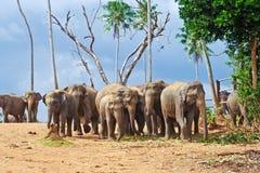 Rebanho dos elefantes na região selvagem Fotografia de Stock