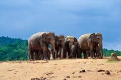 Rebanho dos elefantes na região selvagem Fotos de Stock Royalty Free