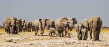 Rebanho dos elefantes no parque nacional de Etosha Foto de Stock