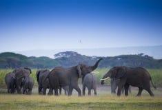 Rebanho dos elefantes no savana africano Fotografia de Stock