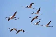 Rebanho dos flamingos Fotografia de Stock